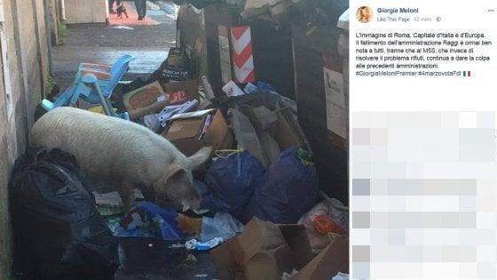 Rifiuti Roma, Meloni posta foto di un maiale tra i cassonetti