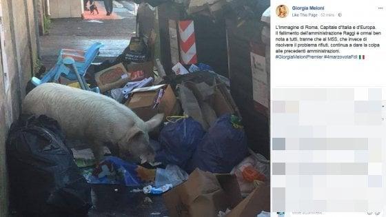 """Rifiuti Roma, Raggi: """"Il maiale postato da Meloni è dei Casamonica"""". La proprietaria: """"Non fa male a nessuno"""""""