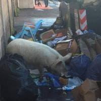 """Rifiuti Roma, Raggi: """"Il maiale postato da Meloni è dei Casamonica"""". La proprietaria:..."""