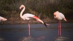 Sorpresa al Circeo  foto  ci sono i fenicotteri rosa