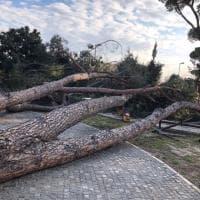 Guidonia, cadono due pini: uno ferisce una donna