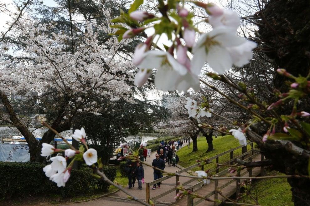 Ciliegi in fiore al laghetto dell 39 eur la primavera for Laghetto giapponese