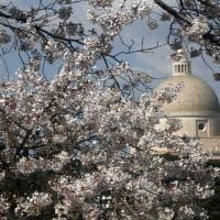Ciliegi in fiore al laghetto dell'Eur: la primavera giapponese arriva a Roma