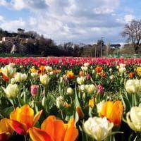Cogli, paghi e porti via: a Roma ora c'è il giardino dei tulipani