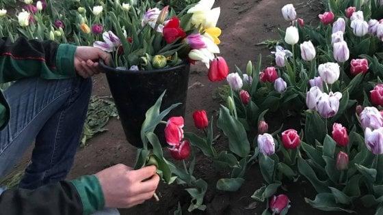 """Roma, visitatori vandali al parco dei tulipani: """"Hanno distrutto i fiori"""""""