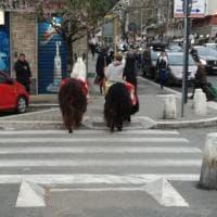 Tre lama a passeggio per le vie e le piazze del centro di Roma