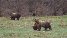 L'orsa e i suoi cuccioli si svegliano dal letargo