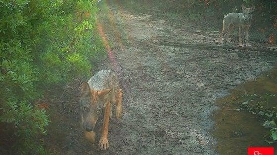 Investito e ucciso il cucciolo di lupo disabile di Castel di Guido a Roma