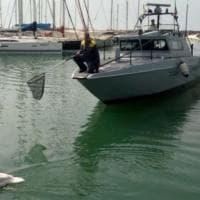 Ostia, il cigno reale intrappolato dalla lenza killer: salvato al porto
