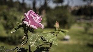 Riapre il roseto comunale  oltre mille varietà di fiori   foto