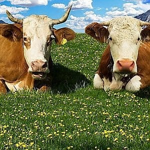 """Roma, erba alta, assessora Montanari: """"Per sfoltire stiamo pensando anche alle mucche"""""""