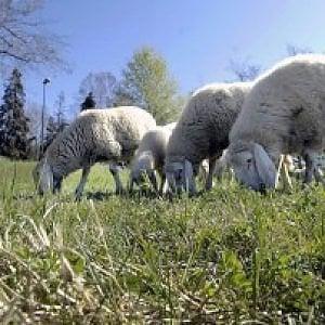 Pecore nei parchi di Roma, c'è la convenzione con Coldiretti
