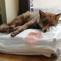 Roma, volpe rossa si intrufola in un albergo: recuperata e liberata a Villa Ada