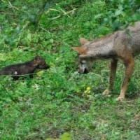 Bracciano, il ritorno del lupo fa paura. Coldiretti: