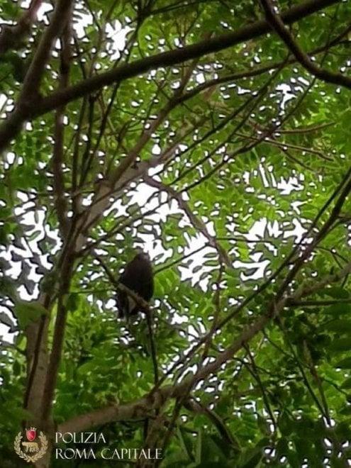 Roma, falco imprigionato su un albero: i vigili lo salvano