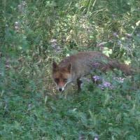 C'è una nuova volpe nel parco di Villa Pamphilij a Roma: ecco Malva