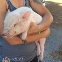 Roma, maialino salvato sulla Laurentina dai vigili urbani