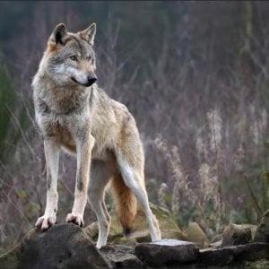 """Itri, """"Attenti al lupo!"""", un convegno in Coldiretti come ai tempi di San Francesco"""