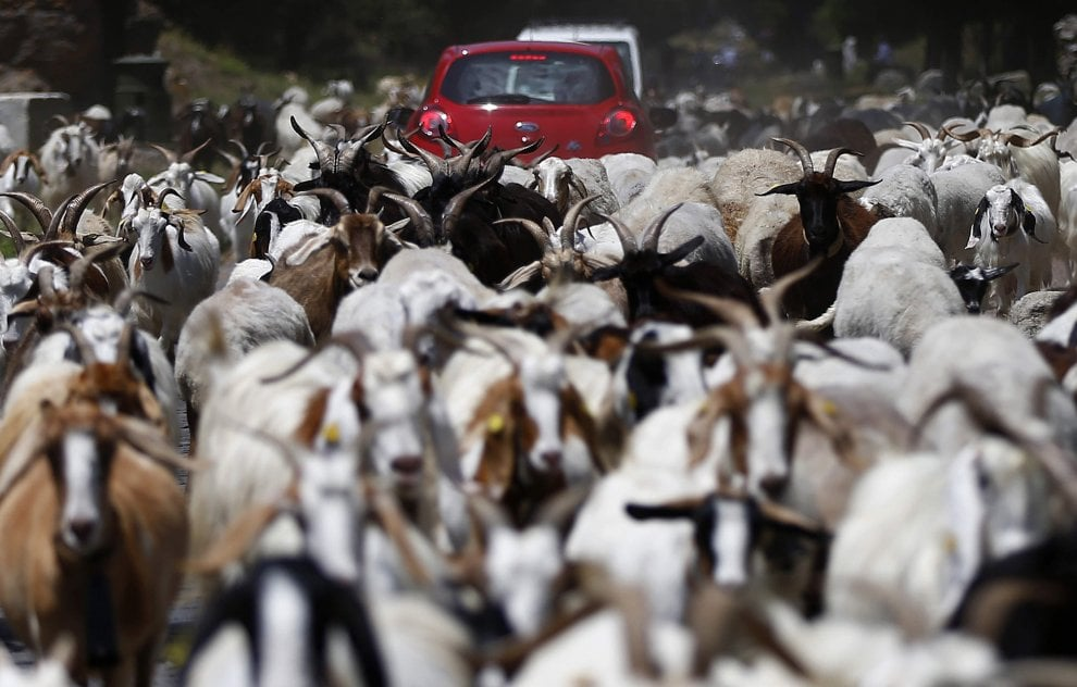 Appia Antica, un gregge di capre invade la strada