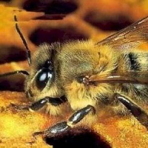 Roma, dopo le pecore tosaerba arrivano le api antismog