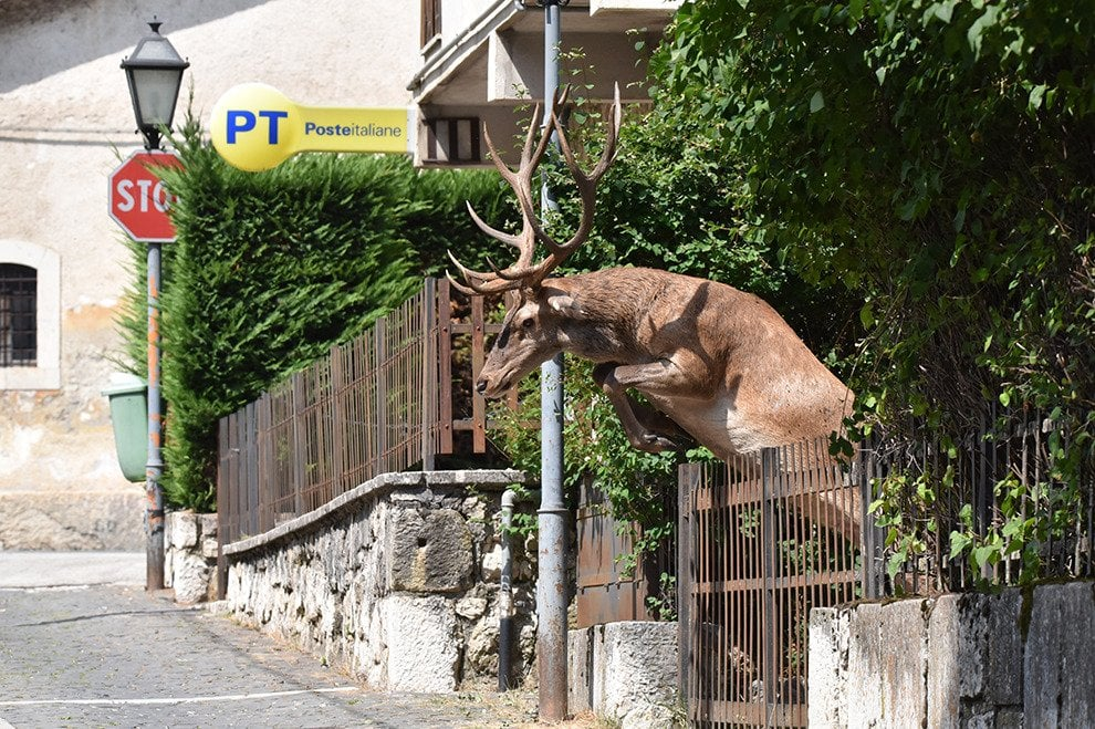 Un salto per raggiungere il compagno. E il cervo scavalca la staccionata