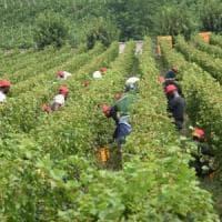 Latina, imprenditore agricolo arrestato per sfruttamento di braccianti