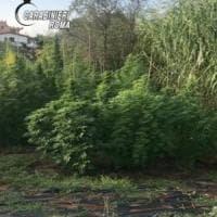 Roma, coltiva in casa 260 piante di marijuana: arrestato