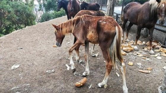 Cavalli denutriti in un campo a Corviale: denuncia e multa all'allevatore, e gli animalisti portano balle di fieno
