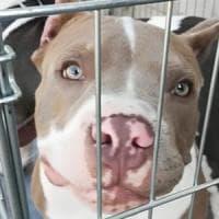 Roma, bulldog con le orecchie tagliate:  denunciati 7 proprietari per maltrattamenti