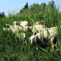 Pecore addio: salta il piano ovini-bruca erba nei parchi di Roma