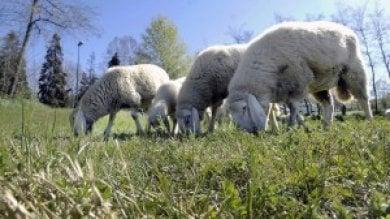 Pecore addio: salta il piano del Campidoglio per gli ovini-bruca erba nei parchi