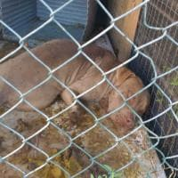 Roma, Castel di Leva: salvati due pitbull in gabbia senza acqua e cibo
