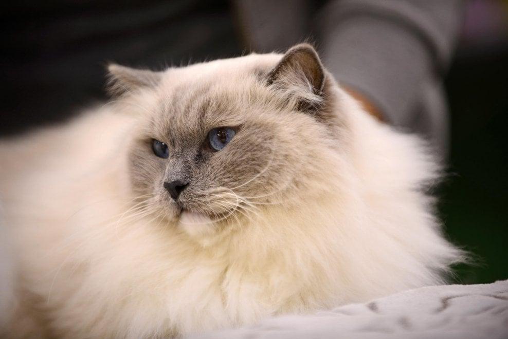 Gatti Di Strada E Felini Di Razza è Il Supercat Show 1 Di 1
