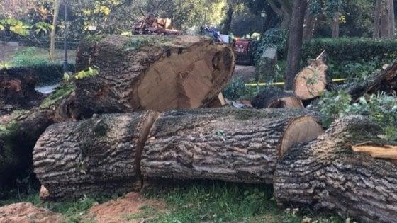 """Roma, a Villa Borghese crolla la Quercia del Lupo. L'associazione del parco: """"Trasformiamo il gigante in un'opera d'arte"""""""