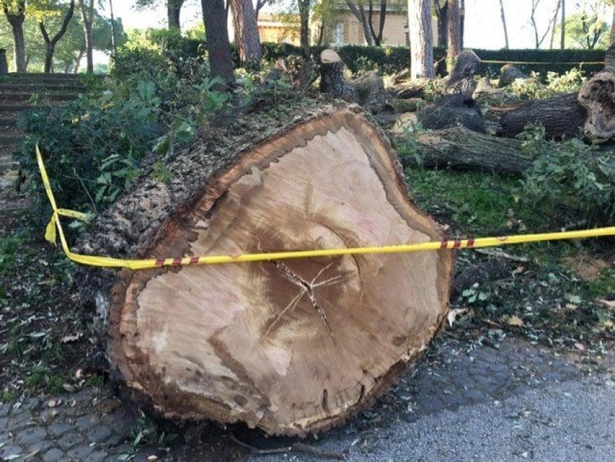 Addio alla Quercia del Lupo di Villa Borghese: appello agli artisti e al Comune per salvare i tronchi
