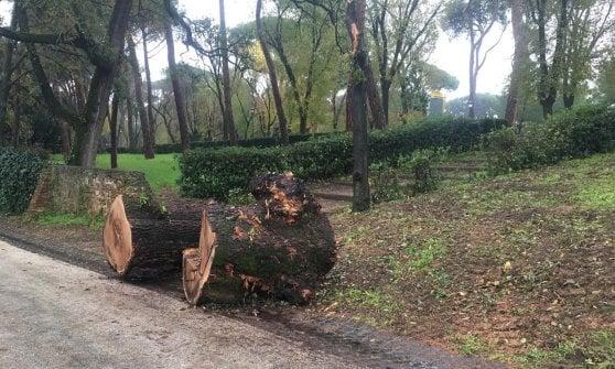 """Roma, Villa Borghese: """"La Quercia del Lupo rivive!"""", ecco il nuovo germoglio"""