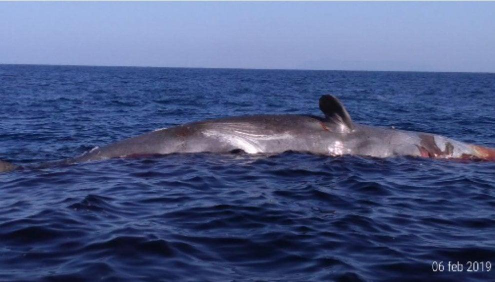 Ponza, balena spiaggiata a Cala Feola: forse uccisa dalla plastica
