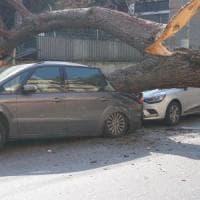Roma, un pino crolla in corso Trieste davanti al Giulio Cesare: nessun ferito. Auto danneggiate