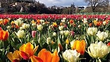 Torna TuliPark, oltre 300mila fiori da cogliere