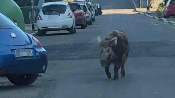"Roma, avvistato un cinghiale a Cinquina: ""È un habitué"""