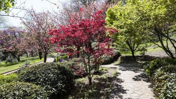 Ciliegi in fiore, all'Orto botanico di Roma tre giorni per ammirarli