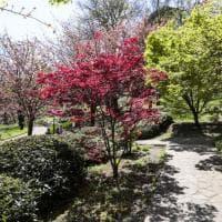 All'orto botanico di Roma tre giorni per ammirare i ciliegi in fiore