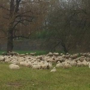 Frosinone, fa passare il gregge di frequente davanti casa della vicina: pastora a giudizio per stalking