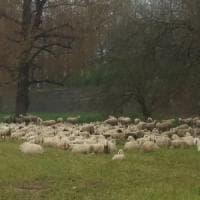 Frosinone, fa passare il gregge di frequente davanti casa della vicina: