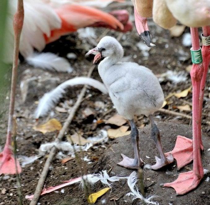 Festa dolce al Bioparco: è nato un piccolo fenicottero rosa