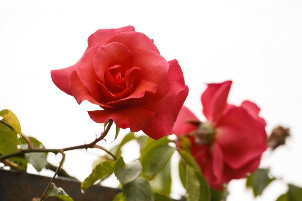 Lo splendore dei boccioli in fiore al Roseto di Roma