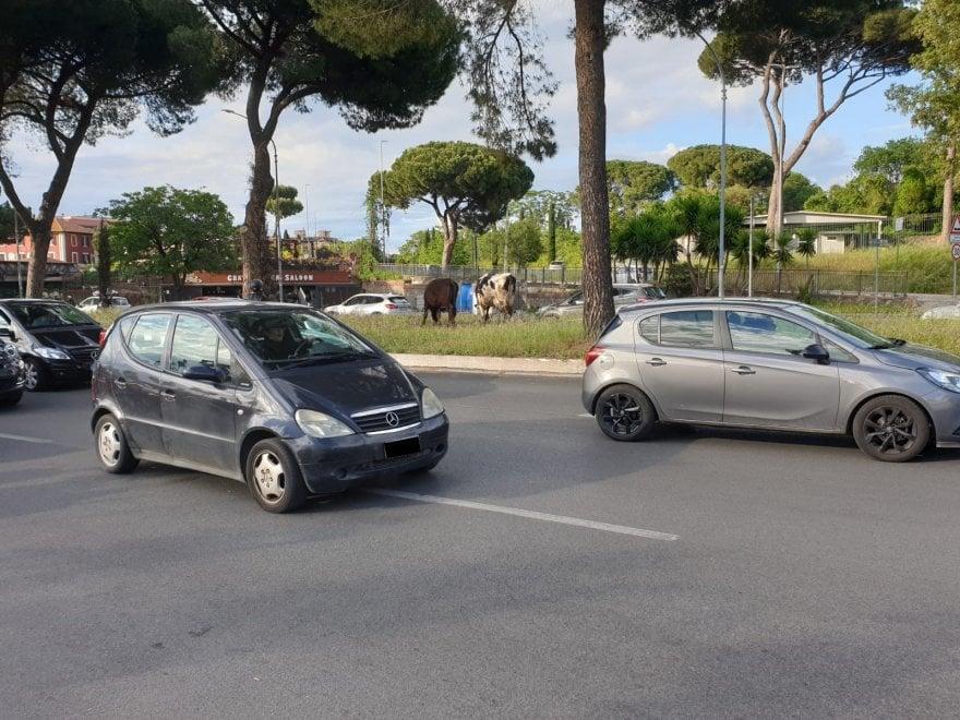 Roma,  tra cinghiali e gabbiani a 'zoo' capitale si aggiungono le mucche, indisturbate sull'Appia nuova