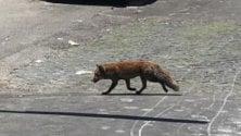 Tra auto e pedoni  spunta una volpe