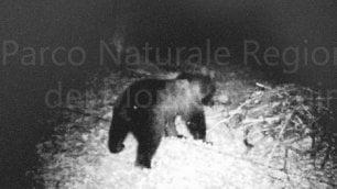 L'orso marsicano  foto  ripreso per la prima volta