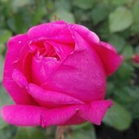 Premio Roma, è francese la rosa più bella